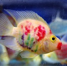 What do you guys think about tattooed fish for Pretty freshwater fish